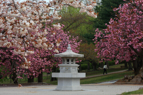 Pink king cherry blossoms with a drinking fountain and an woman walking in front of The Bulguksa Temple in Gyeongju South Korea