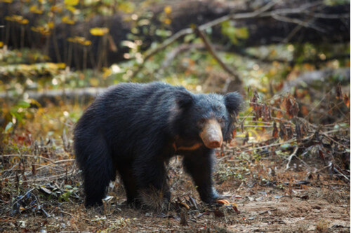 Sloth Bear in Wasgamuwa National Park