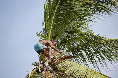 Man is climbing up to palm tree for harvest coconut in Sri Lanka