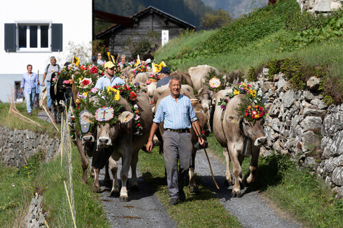 Ceremonial driving down of cattle from the mountain pastures Susten into the valley of Wassen in Canton Uri in Wassen Switzerland