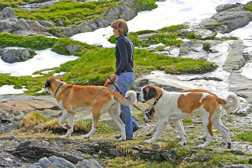 Breeder on a walk with the dogs bred for centuries in hospice of Great St. Bernard Pass in border of Italy and Switzerland
