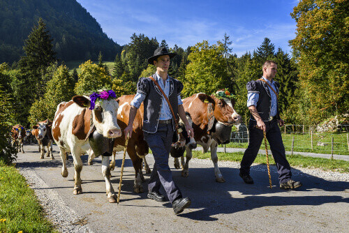 People with a herd of cows on the annual Désalpe de Charmey in Charmey Fribourg Switzerland