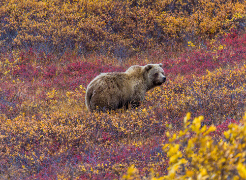 This grizzly bear in Denali National Park was feeding in a red-leaved patch of blueberries in Alaska