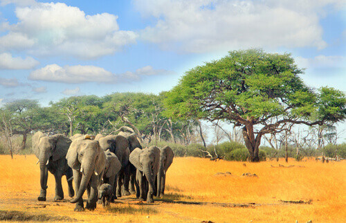 Elephants walking across the dry savanna with a natural treescape background in Hwange national park Zimbabwe South Africa