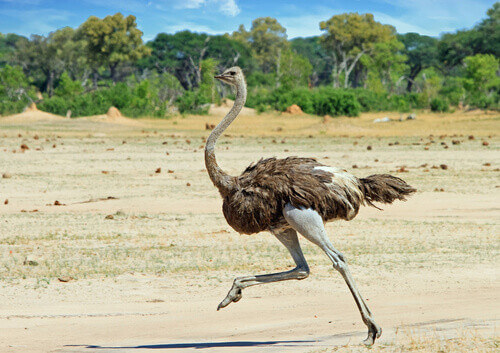 Ostrich running across the Hwange Plains in Zimbabwe South Africa