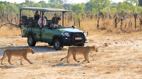 Tourists out on safari in a truck while two lions walk past them in Hwange National Park in Zimbabwe