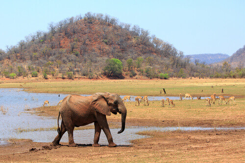 African Elephant on the shoreline of Lake Kariba with a lush green hill and impalas grazing on the grass in Zimbabwe