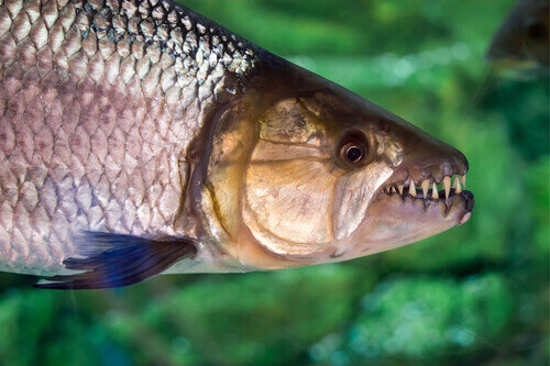 Hydrocynus vittatus or the African tigerfish found on the lakes of Lake Kariba in Zimbabwe