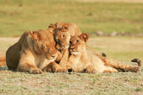 Lioness and cubs in Chobe National Park in Zimbabwe