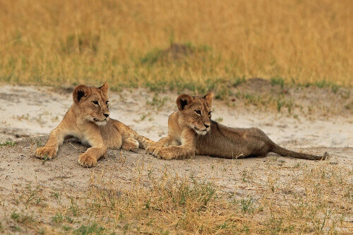 The grand cubs of Cecil the lion that was killed in 2015, laying in Hwange National Park in South Africa