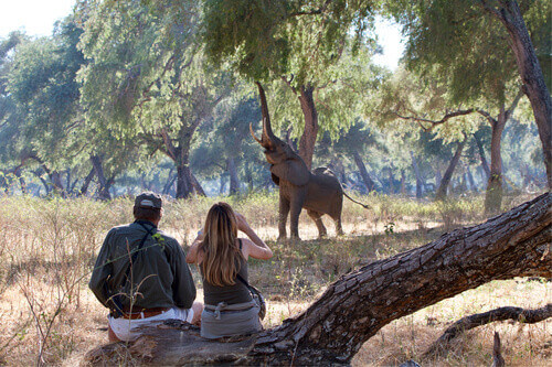 Tourist with ranger looking an African elephant taking the food from the tree in Mana Pools National Park in Zimbabwe