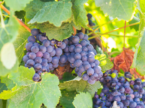 Grapes in Antejo winery
