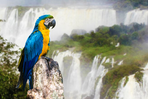 macaw in front of iguazu falls