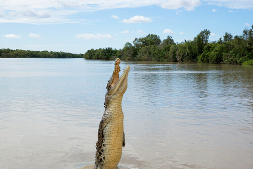 crocodile adelaide river northern territory