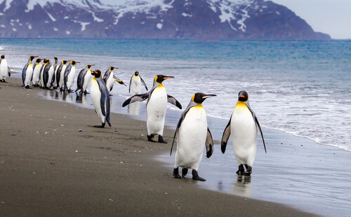 emperor penguins waddling along beach