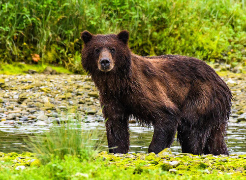 grizzly bears pack creek admiralty island alaska