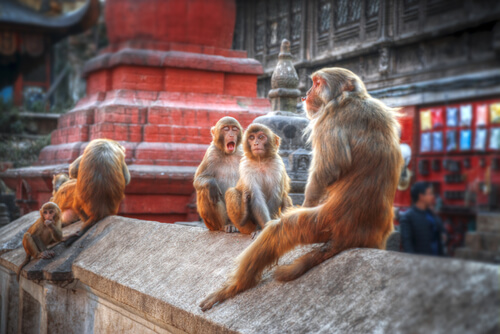Monkeys on wall at pashupatinath temple kathmandu