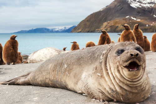 big seal in front of penguins on beach