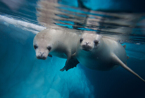 two crabeater seals swimming